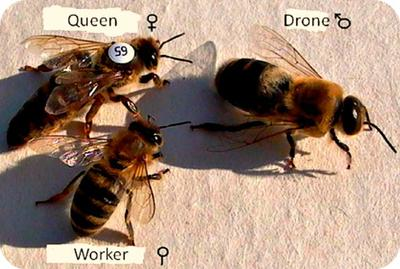 The honeybee castes in a colony
