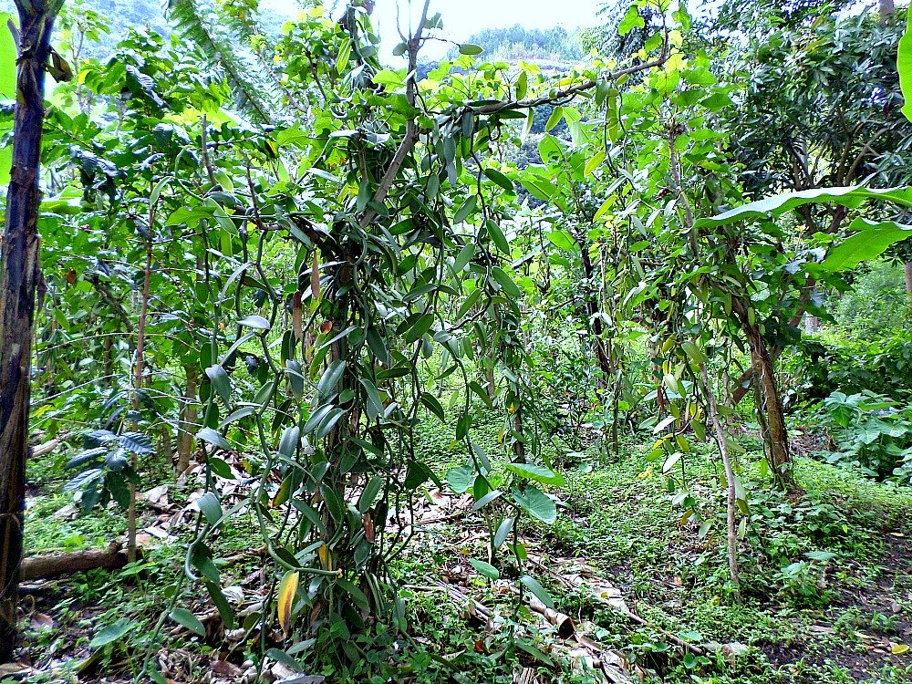 Vanilla plantation in Uganda Africa. <br> You can see the spacing , the Intercroping & the shades